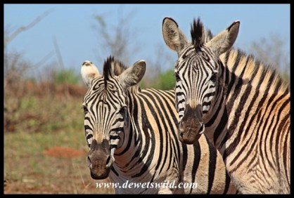 Plains zebras are so photogenic!