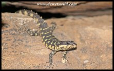 Warren's Girdled Lizard