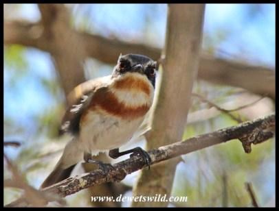 Cape Batis (female)