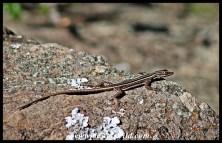 Natal Flat Lizard female