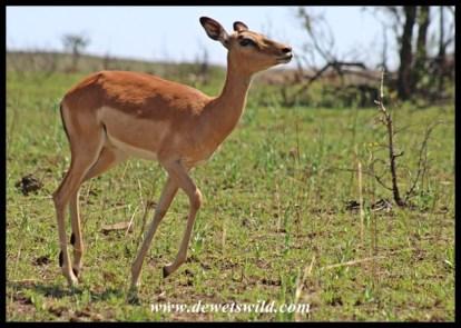 Impala sprint