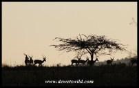 Impala sunrise