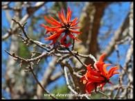 Ithala in full bloom