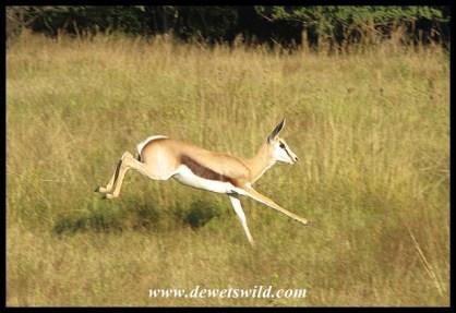 Springbok at speed
