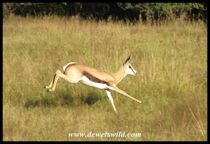 Springbok at speed