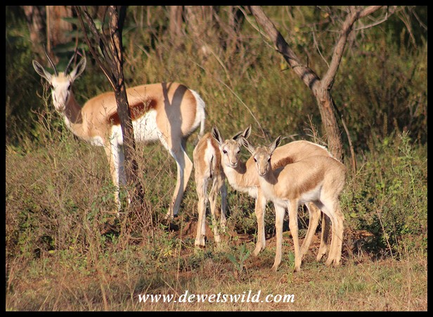 Springbok lambs
