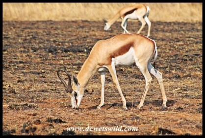 Springbok ram at Rietvlei Nature Reserve