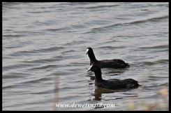 Red-knobbed Coots