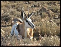 Springbok ewe