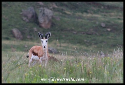 Springbok ram at Golden Gate Highlands National Park