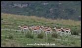 Springbok herd in Golden Gate Highlands National Park