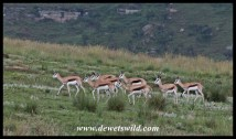 Springbok herd in Golden Gate Highlands National Park
