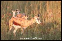Springbok in the Moreletakloof Nature Reserve