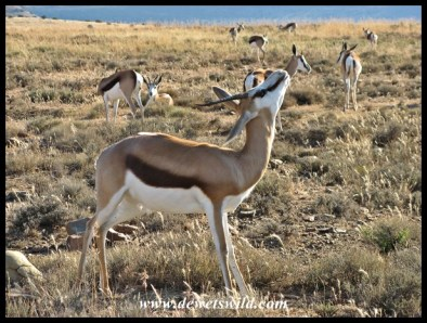 Springbok herd at Mountain Zebra National Park