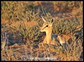 Springbok Lamb