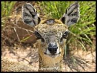 Klipspringer ewe