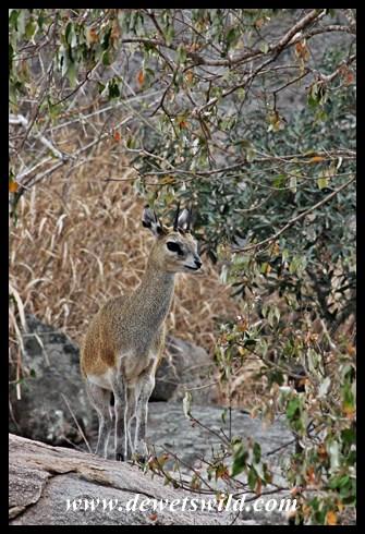 Klipspringer in typical habitat