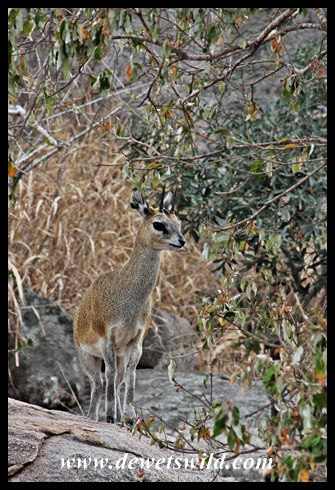 Klipspringer in typical habitat