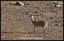 Klipspringer unusually caught moving between more rocky areas