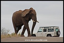 Tired old elephant bull crossing the road