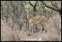 Reedbuck female