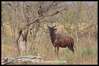 Tsessebe at Nshawu Marsh in Kruger National Park