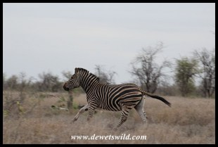 Another energetic zebra