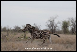 Another energetic zebra