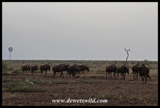 Blue wildebeest marching away from Tinhongonyeni