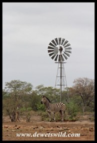 Zebra at Ngwenyeni
