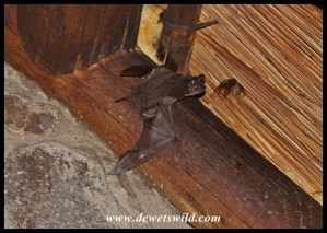 Free-tailed Bat leaving the roost