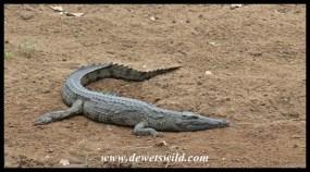 Crocodile along the Ngwenyeni stream