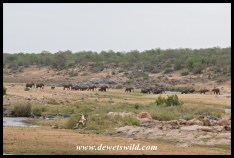 Big herd of elephant crossing the Letaba