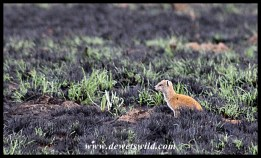 Yellow mongoose on burnt veld