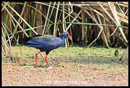 African Purple Swamphen