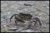 Crab crossing a road