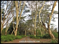 Pafuri's fever tree forest