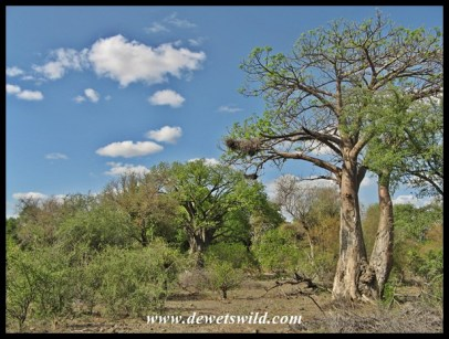Baobabs in spring