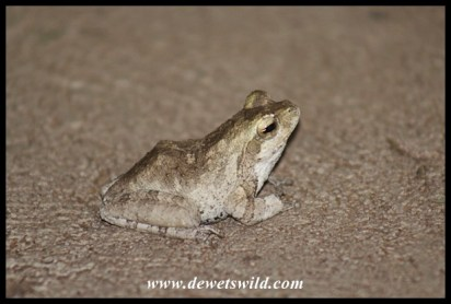 Southern Foam Nest Frog in Pafuri Border Camp