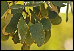 Mopane leaves