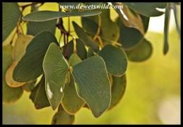 Mopane leaves