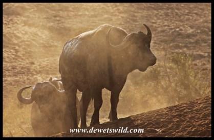 Dusty buffaloes of the Mphongolo