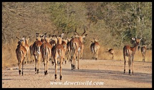 Impala herd on the move
