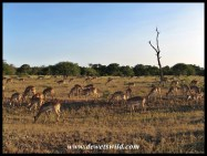Impala grazing near Satara in the Kruger Park