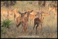 Impala lamb creche