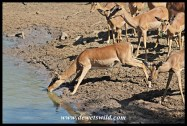 Impala are nervous drinkers
