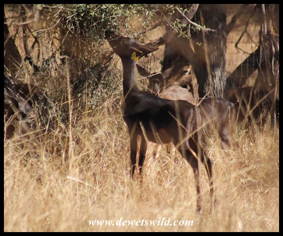 Black Impala ewe on a ranch near Rooiberg in Limpopo (photo by Joubert)