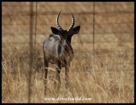 Young Black Impala ram on a ranch near Rooiberg in Limpopo (photo by Joubert)