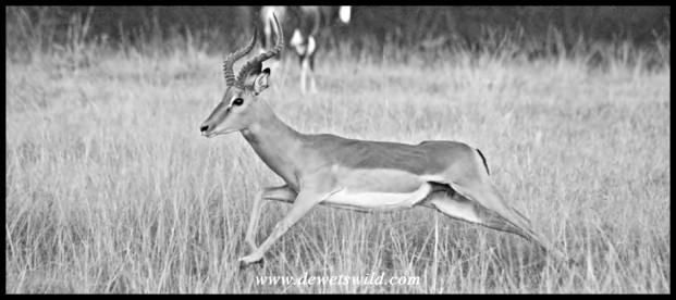 Impala ram on the run