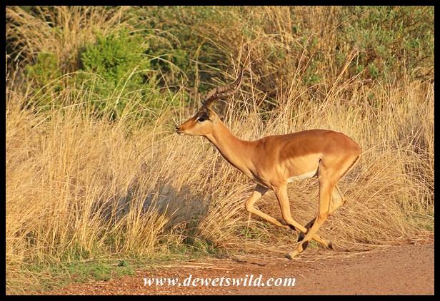 Athletic impala ram